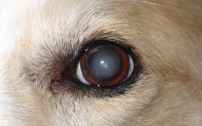 Cataratas en los ojos de los perros