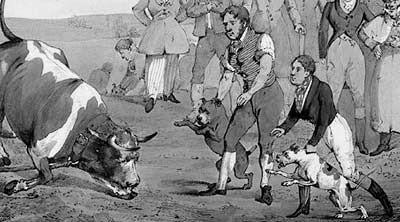 Pelea de Pitbulls con Toro