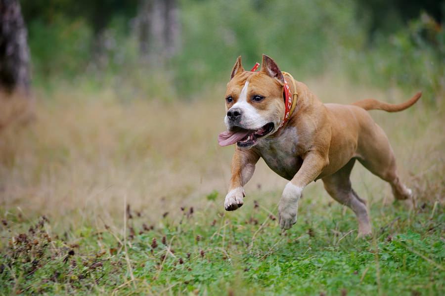 Staffordshire Bull Terrier Ejercitandose