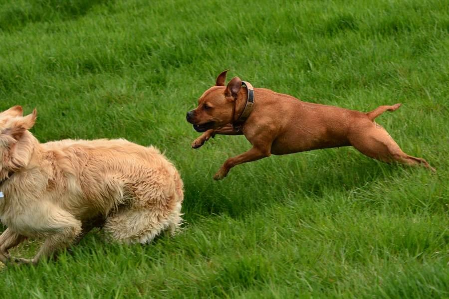 Staffordshire Bull Terrier Rapido Corriendo