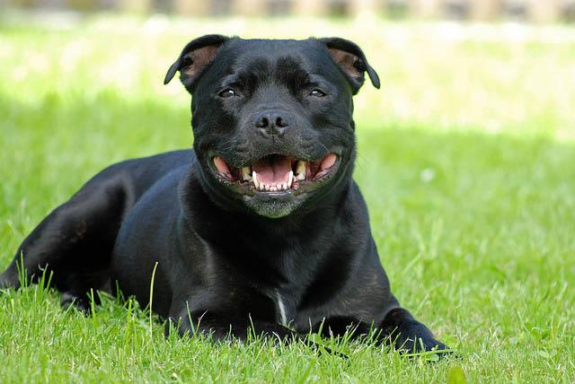 Staffordshire Bull Terrier Recostado en la Grama