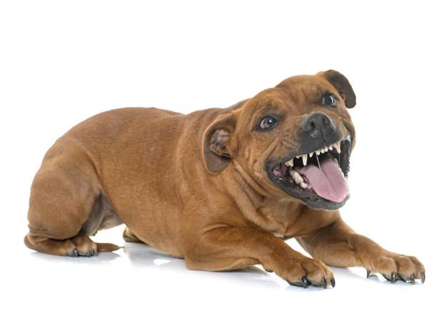 Stafforshire Bull Terrier Mostrando Agresividad