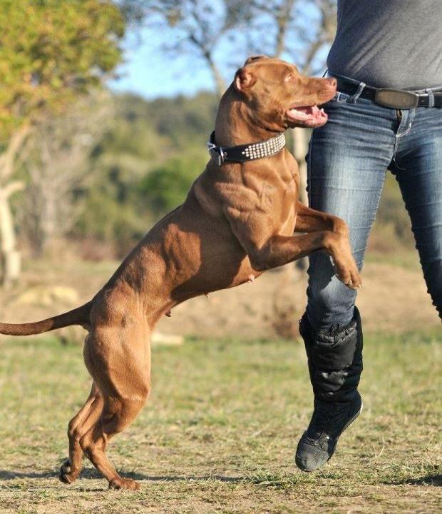 American Pitbull Terrier Red Nose Fuerte