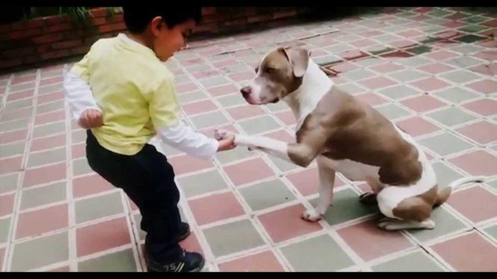 Pitbull Obediente entrenando