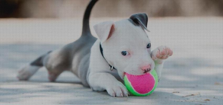 Pitbull Puppy jugando con pelota