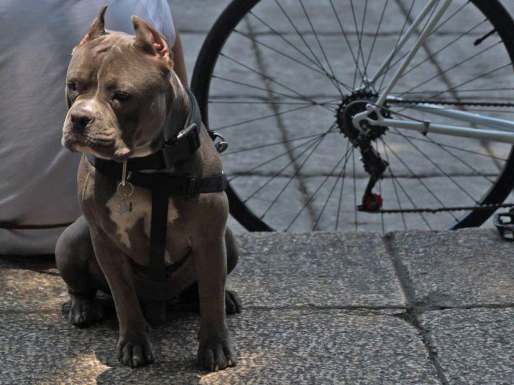 Pitbull preparado para pasear en bicicleta