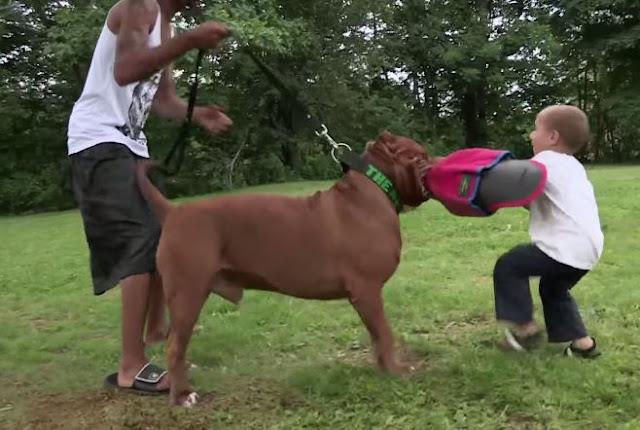 Mordida de Perro Pitbull
